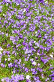 Flowering Spring Crocuses