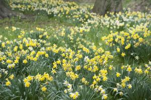 Flowering Yellow Daffodils